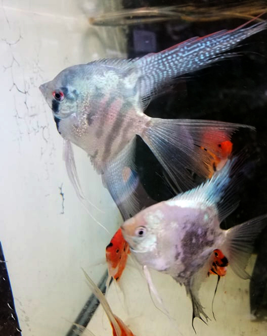 Proven Pair 5 Blue Clown Veil x Smokey Paraiba