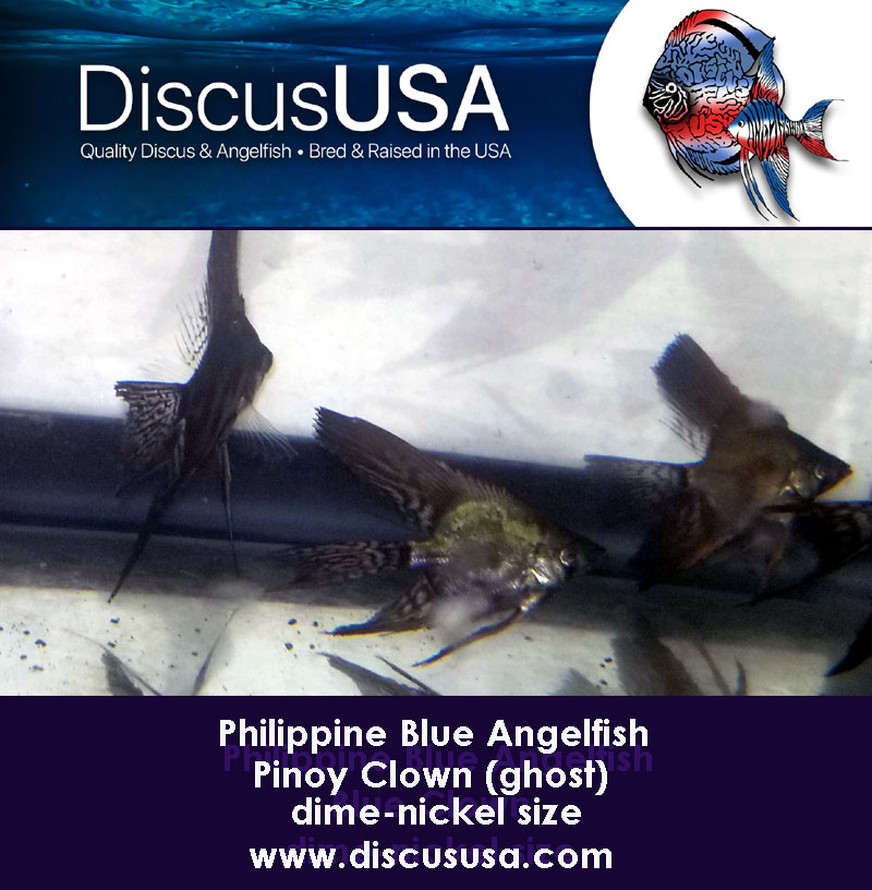 Blue Pinoy Clown Angelfish smal, dime-nickel size bodyl (Pack of 5)
