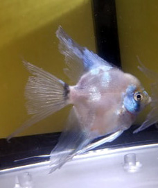 Paraiba Angelfish - Pre-beeder young adult