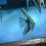 Blue Smokey Angelfish