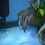 Pinoy Angelfish