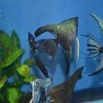 Pinoy Smokey angelfish